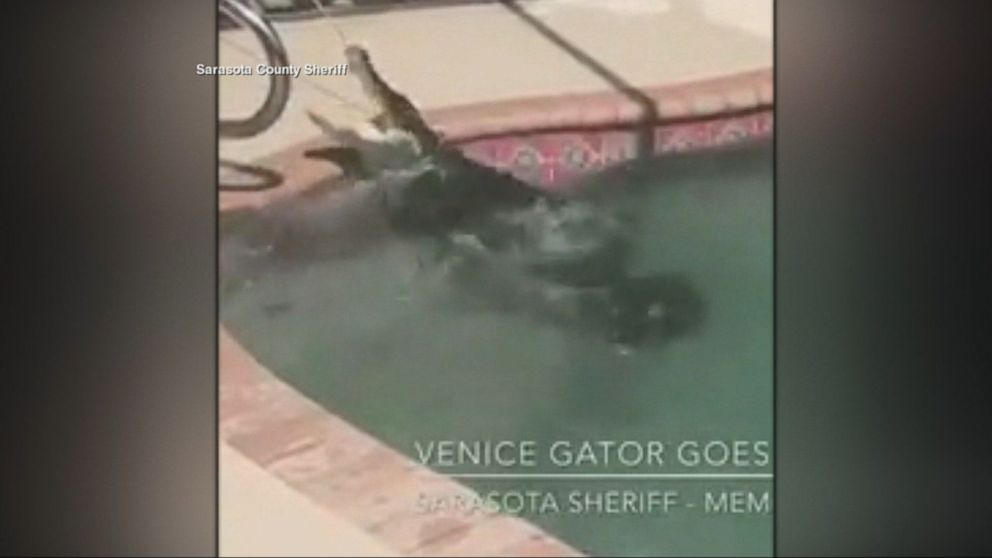 WATCH:  Gator found in Florida swimming pool