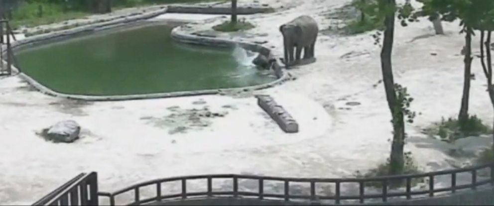 The calf was playing in the water next to one of the adult elephants when, suddenly, the calf falls into the enclosures pool.