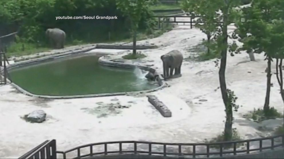 The calf was playing in the water next to one of the adult elephants when, suddenly, the calf falls into the enclosure's pool.