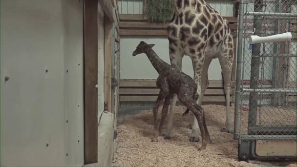VIDEO: Tufani, an endangered giraffe, gave birth to a baby who has not yet been named at the city's Woodland Park Zoo.