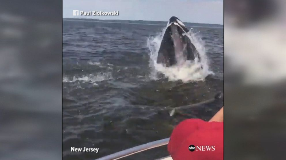 A humpback whale breached the water extremely close to a fishing boat off the coast of New Jersey.