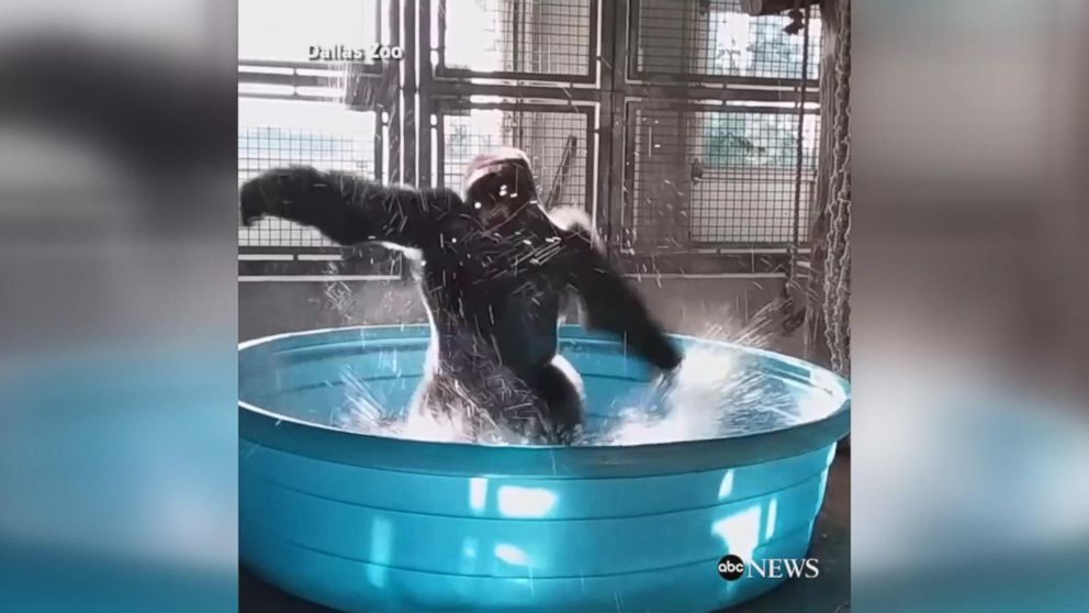 VIDEO: Dancing gorilla channels his inner 'Maniac' in kiddie pool
