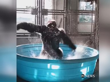 WATCH:  Dancing gorilla channels his inner 'Maniac' in kiddie pool