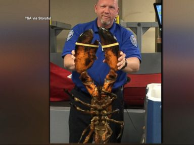 WATCH:  TSA agent finds 20-lb lobster in checked baggage