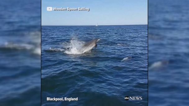 VIDEO: A large pod of dolphins followed a sailboat in Blackpool, England.