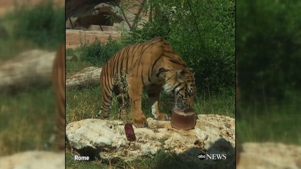 VIDEO: Tigers, meerkats and other animals at Rome's zoo with ice pops and fruit treats.