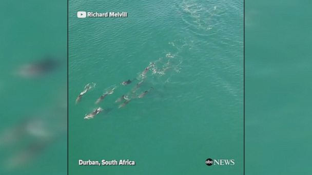 Drone footage captured a pod of playful dolphins joining surfers on the beach in Durban, South Africa.
