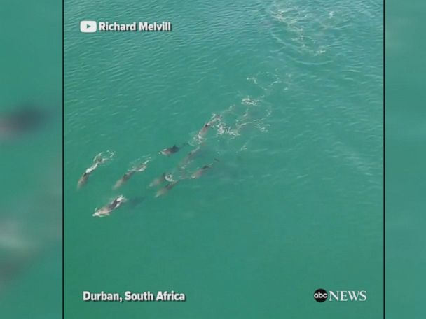 WATCH:  Dolphins join surfers in South Africa