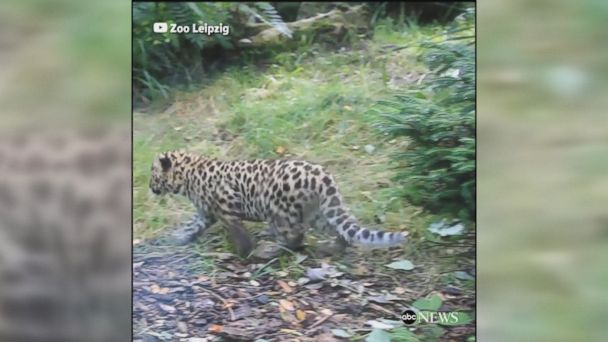 Critically-endangered Amur leopard cubs greeted the public for the first time at the Leipzig Zoo, three months after their birth at the zoo.