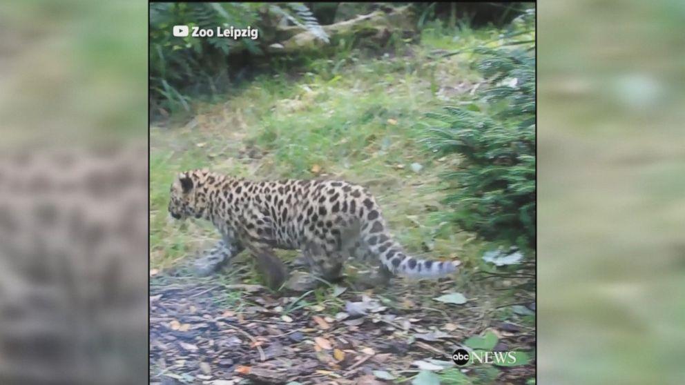 WATCH:  Rare Amur leopard cubs make public debut