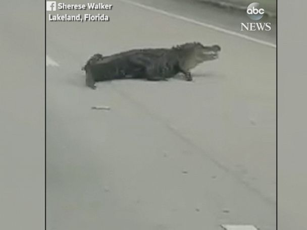 WATCH:  Huge alligator crosses busy Florida street