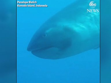 WATCH:  Diver encounters rare megamouth shark