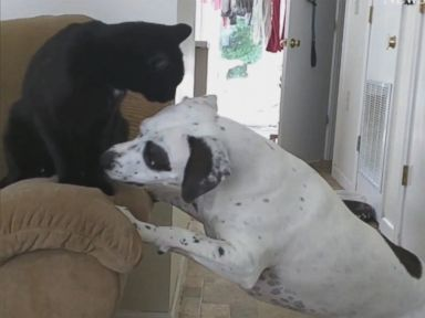 WATCH:  Cat vs. dog in fight for couch armrest