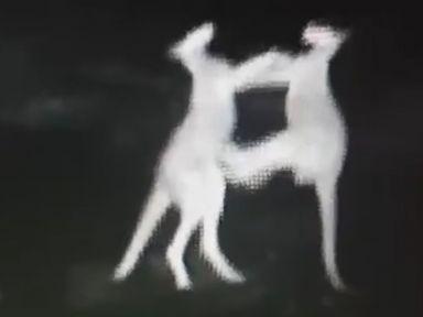 WATCH:  Kangaroos caught fighting on police camera