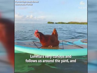 WATCH:  Meet a paddleboarding chicken in the Florida Keys