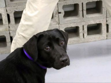 WATCH:  Dog loses interest in bomb sniffing, CIA 'fires' her