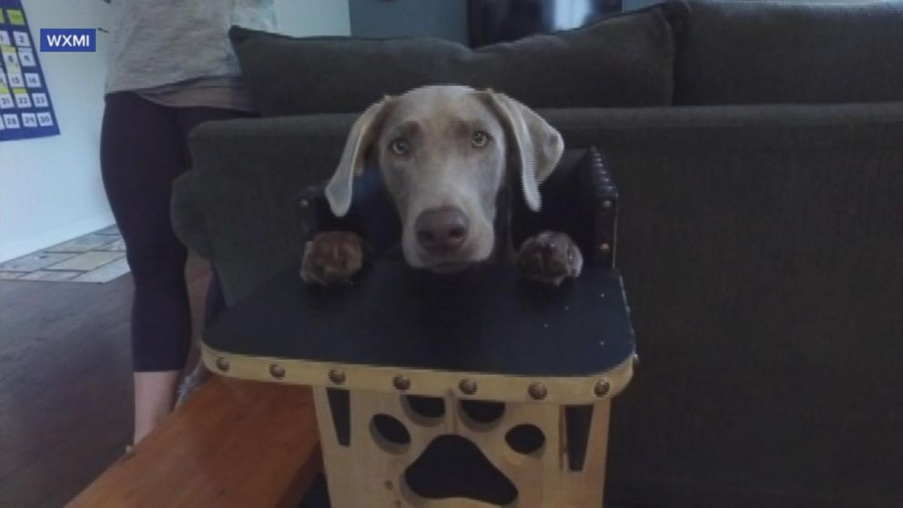 Dog Eats From Highchair