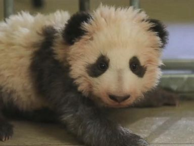WATCH:  Baby panda attempts first steps