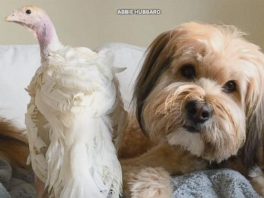 WATCH:  This rescue dog and rescue turkey are BFFs