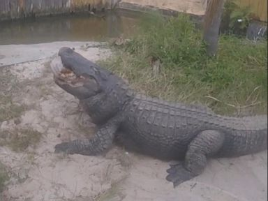 WATCH:  Gators gobble up turkeys for Thanksgiving