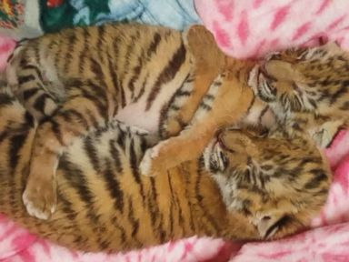 WATCH:  Cuddling tiger cubs amaze at Conn. zoo