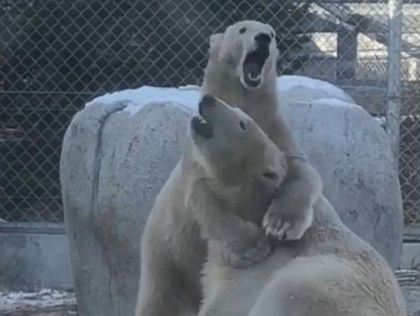 WATCH:  Playful polar bears bond in the snow