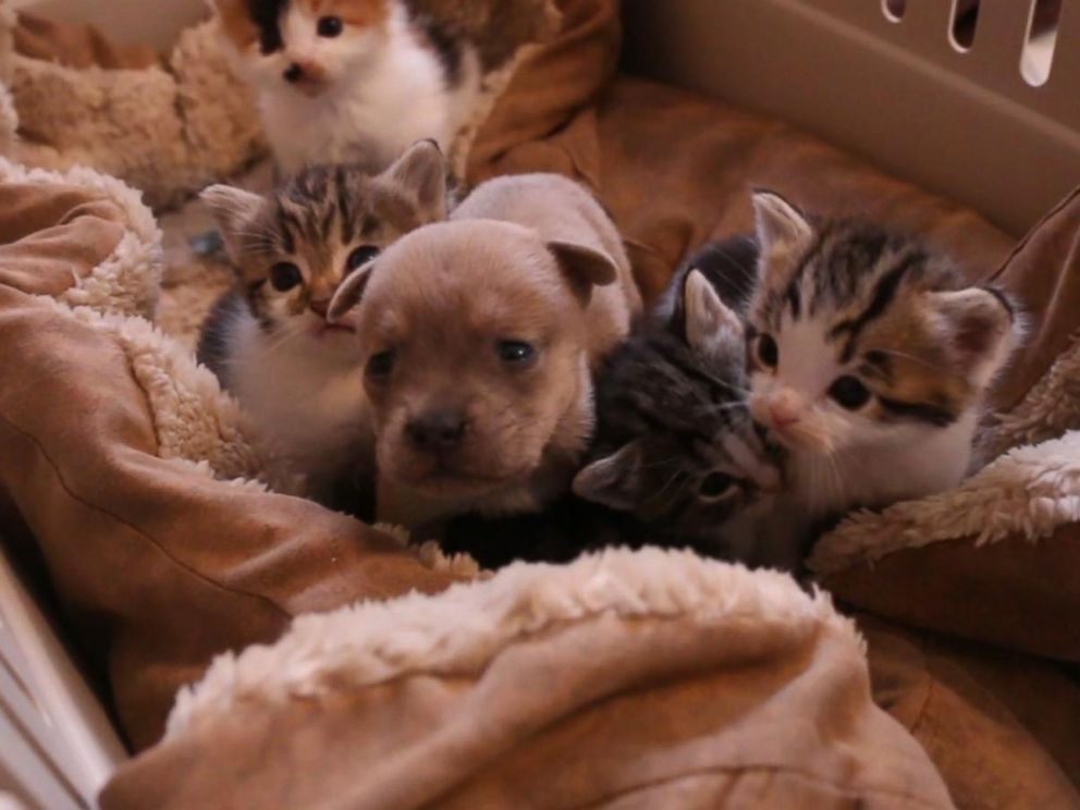Orphaned Puppy Adopted By Mother Cat And Litter Of Kittens ABC News - Rescued kitten adopted by ferrets now thinks shes a ferret too