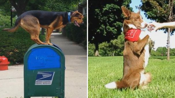 ABC dog competition mar 140630 16x9 608 GMA Dog vs. Dog: Noodles Jumps on Mailboxes, Sweet Sundance Drinks Like a Pro