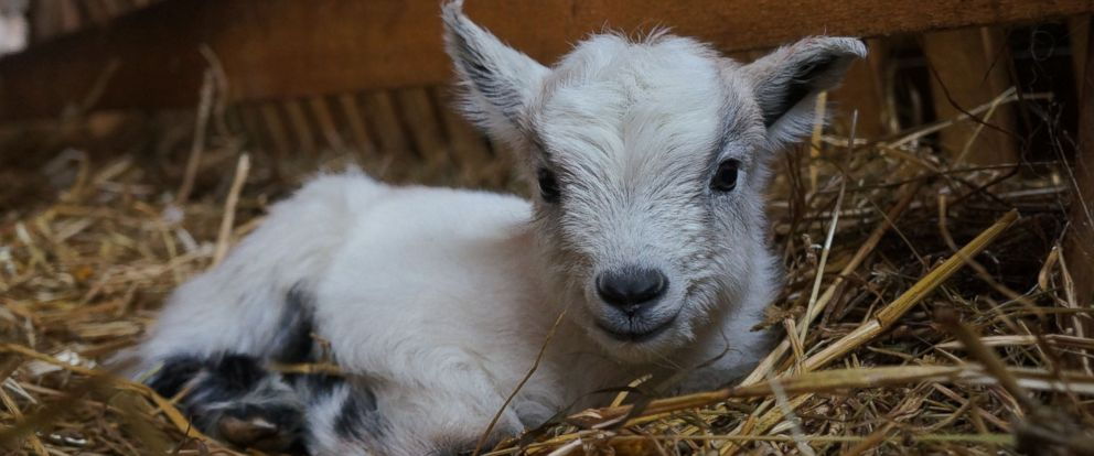 A baby goat is pictured in this undated file photo.