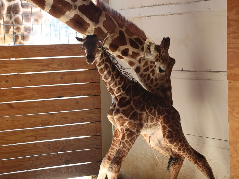 PHOTO: A giraffe named April stands with her new calf at Animal Adventure Park in Binghamton, N.Y., April 15, 2017. Her birth was broadcast to an online audience of more than a million viewers.