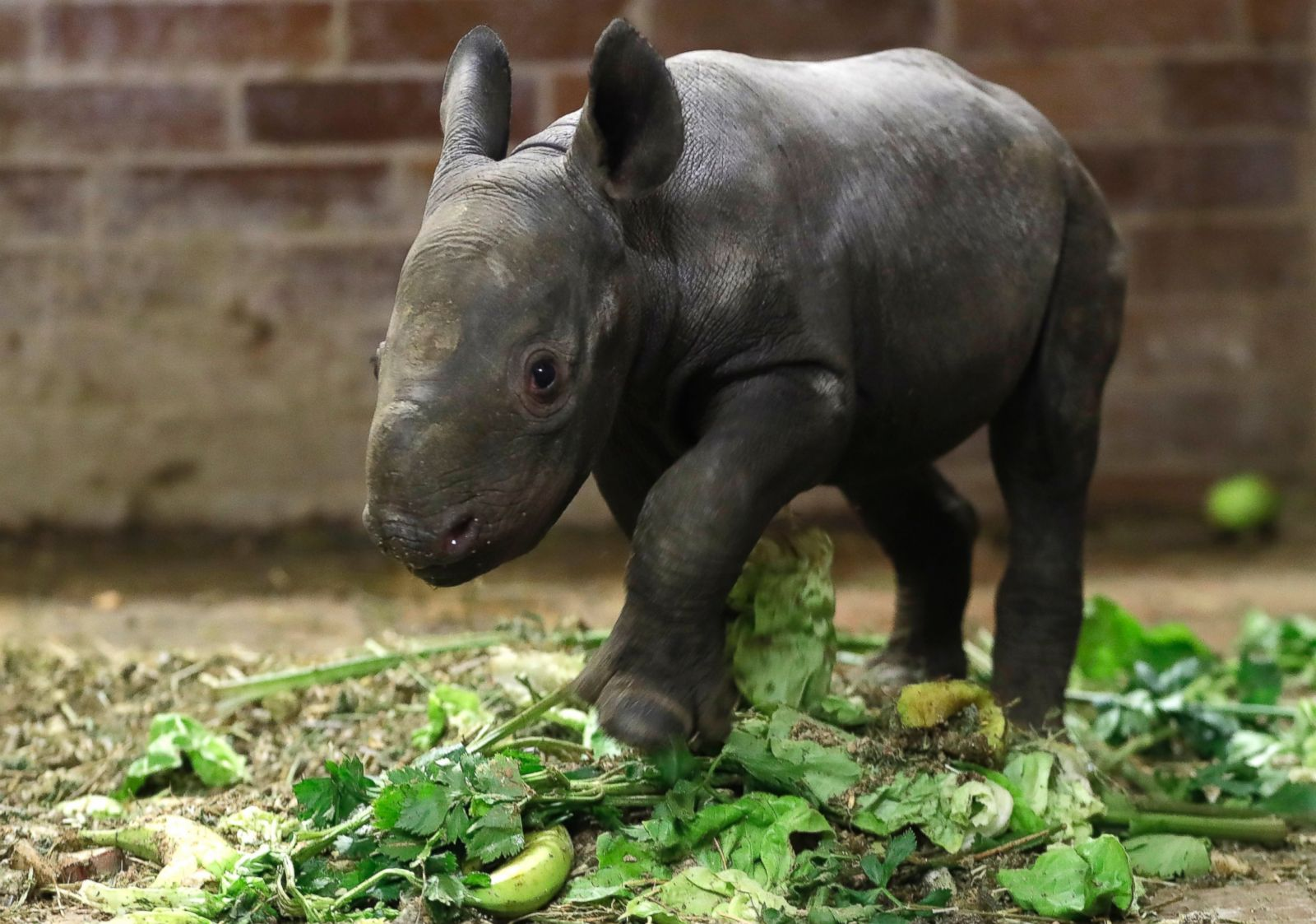 baby rhino debuts at czech republic zoo picture cutest