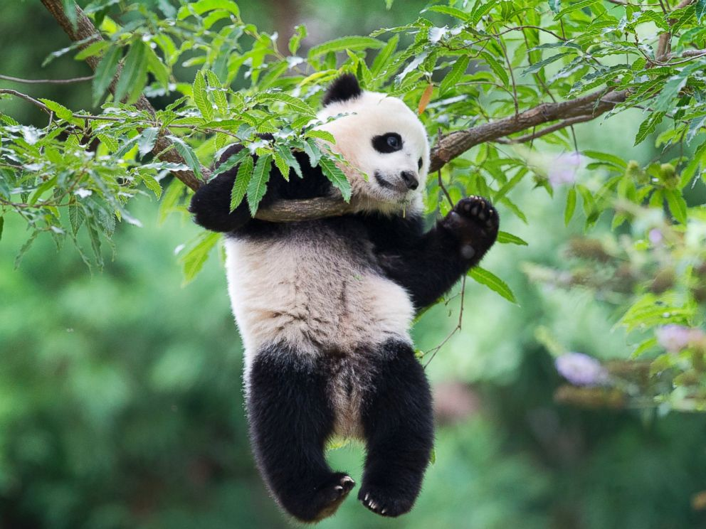 Bao Bao the panda leaves National Zoo for new home in China - ABC News