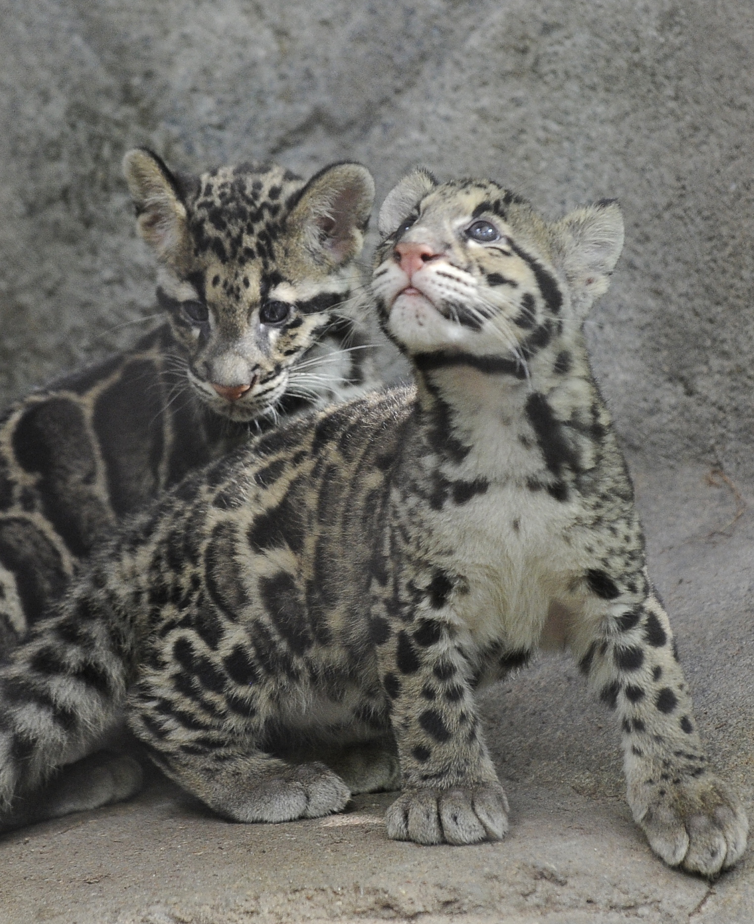 Clouded Leopard Cubs Check Out Their New Digs