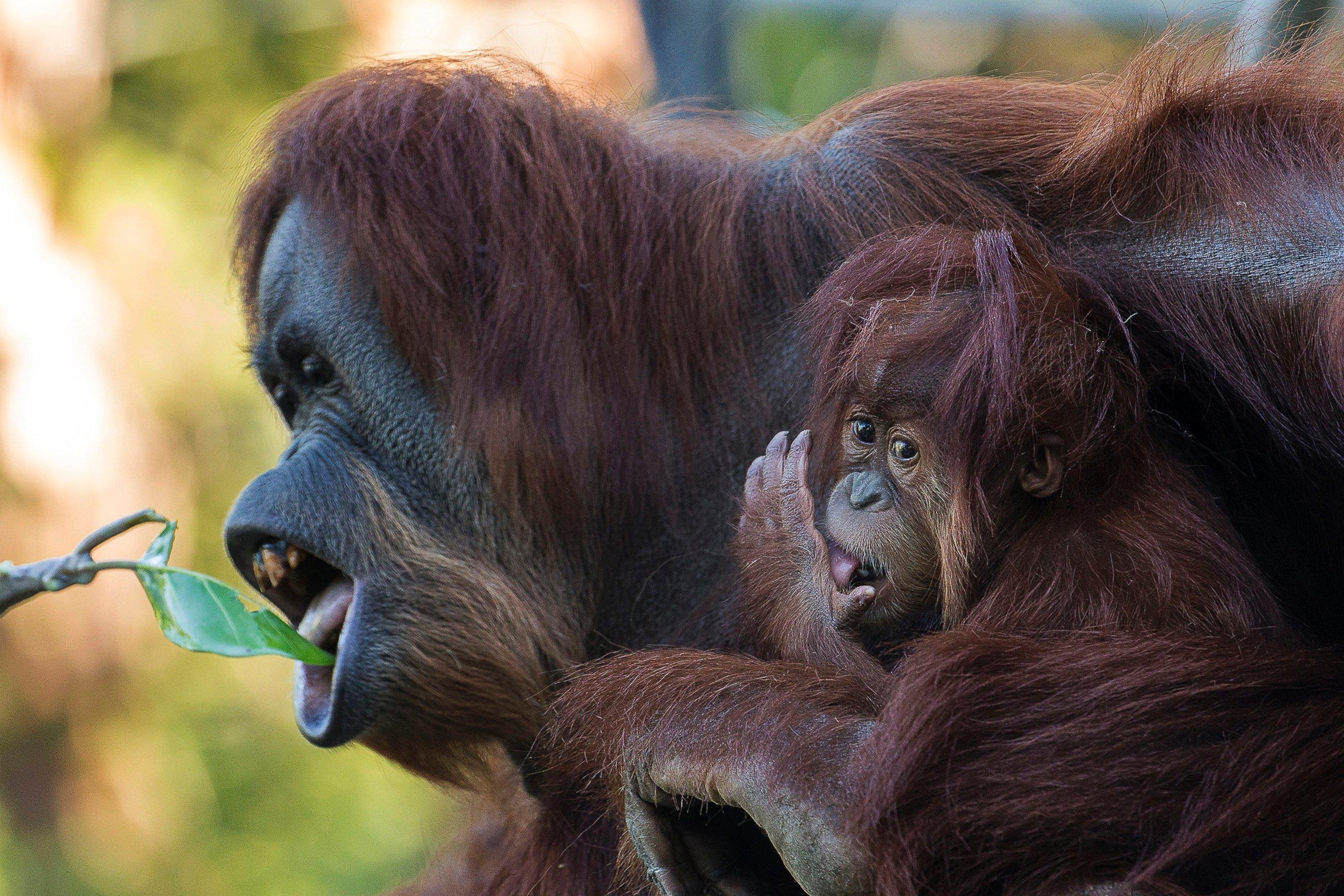 Baby Orangutan Turns One!