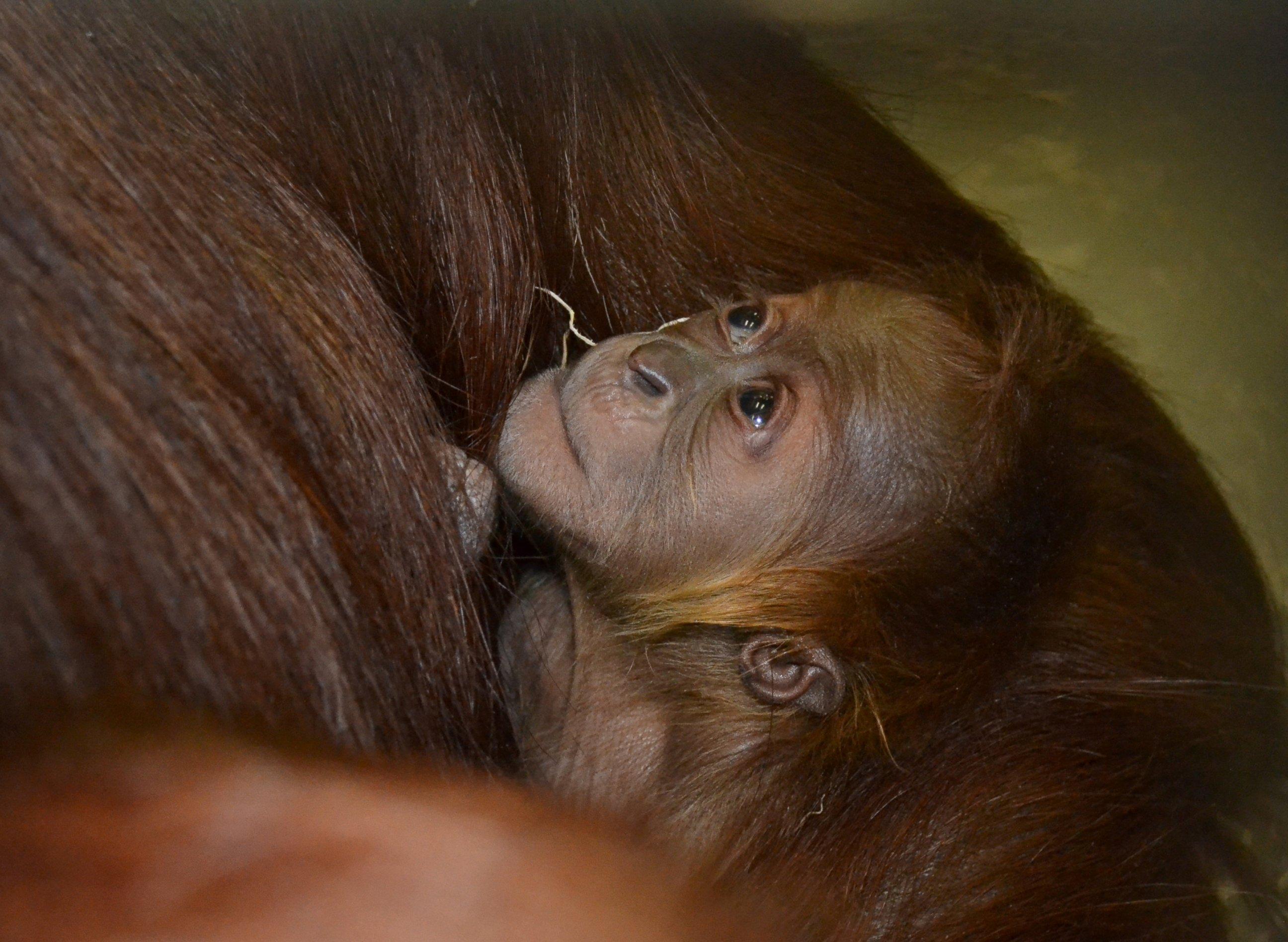 Mother and Baby Orangutan Bond