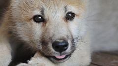 Wolf Cub Sticks Out Tongue
