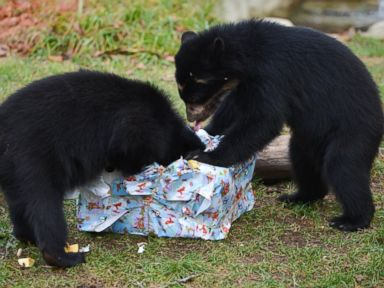 Bear Twins Unwrap Christmas Presents at German Zoo