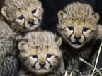 3 Cheetah Cubs Hang Out at the Zoo