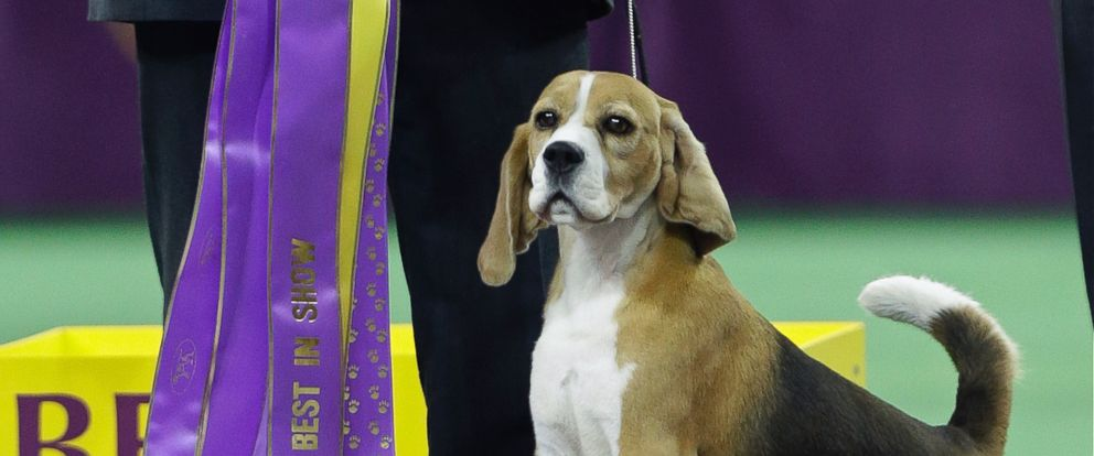 PHOTO: Miss P, a 15-inch beagle, and handler William Alexander react after winning the Best in Show at the Westminster Kennel Club dog show, Feb. 17, 2015, in New York.