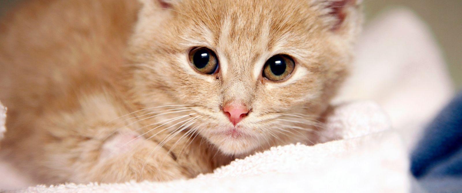 PHOTO: Elsa the kitten recovers at the Denver Dumb Friends League animal shelter, Nov. 14, 2014 in Denver.