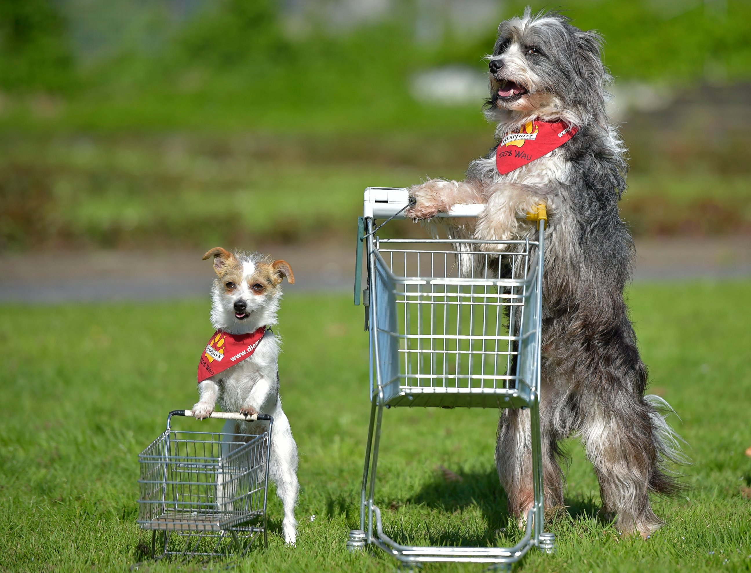 Film Dogs Tom Tom and  Jo Jo Perform With Shopping Carts