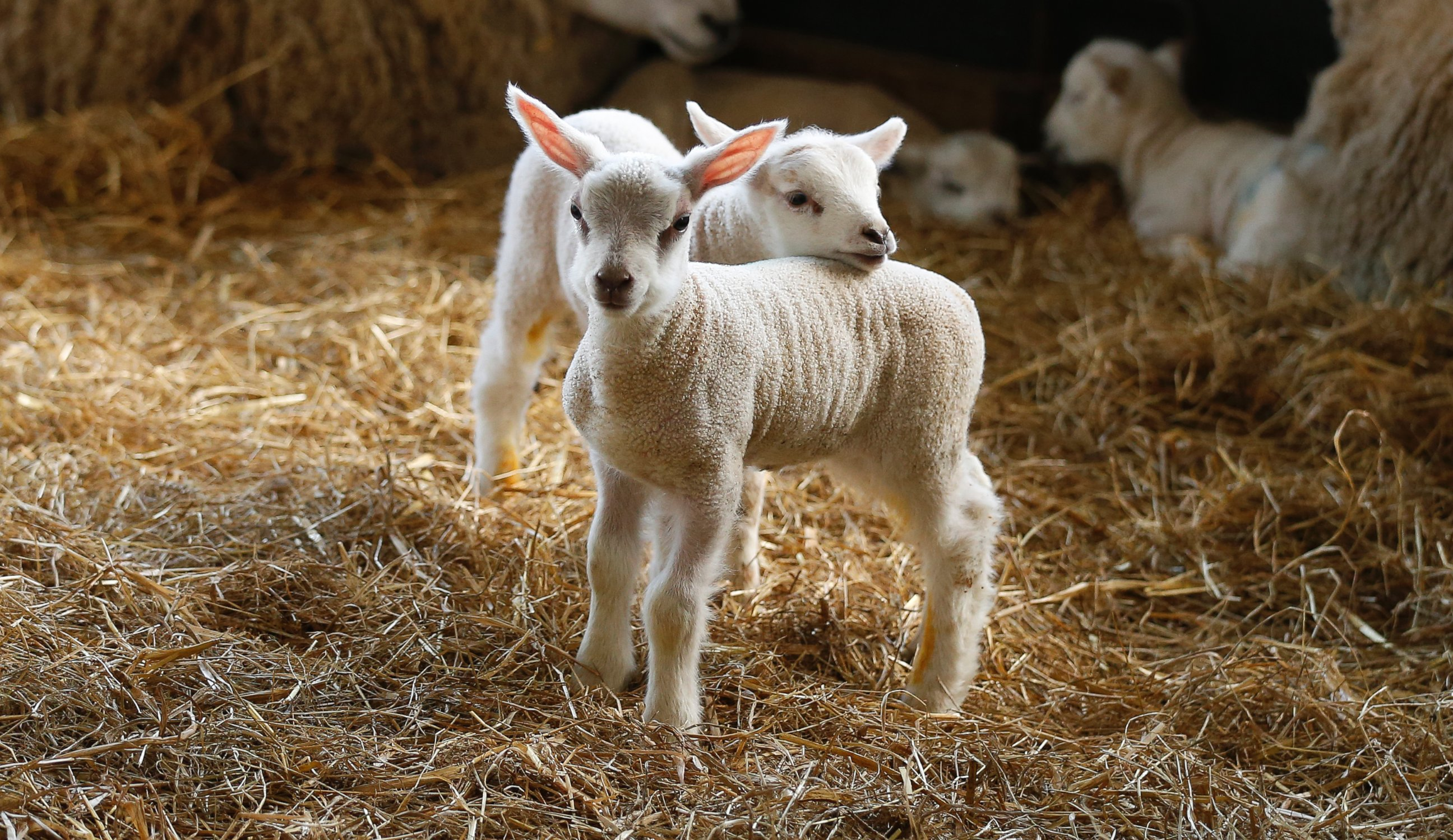 Two Lovable Lamb Buddies Hang Out