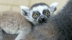 Baby Lemur Relaxes on Mom