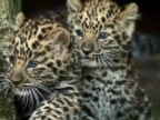 Baby Leopards Go Outside for the First Time