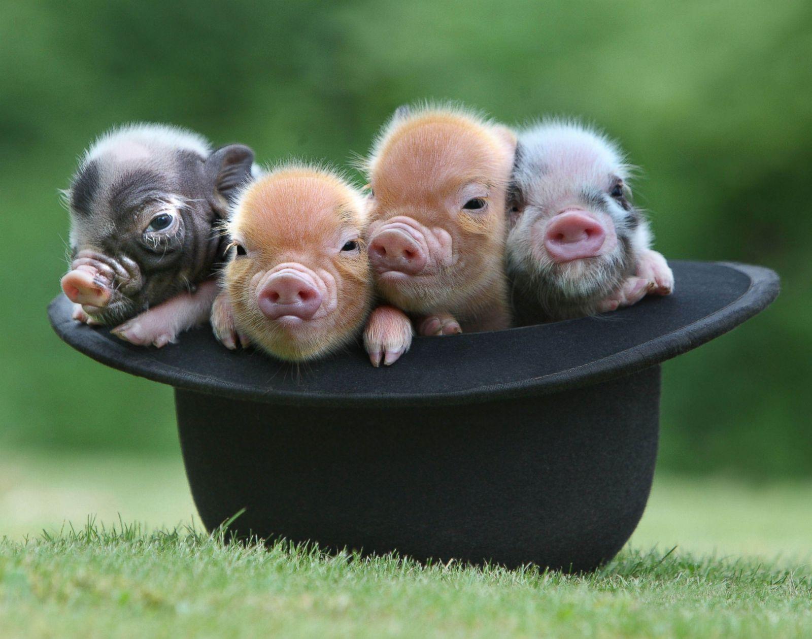 帽子の中に納まる豚の赤ちゃん