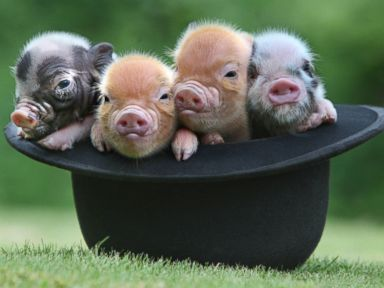 Photos: Micro Pigs' Cuteness Will Make You Squeal