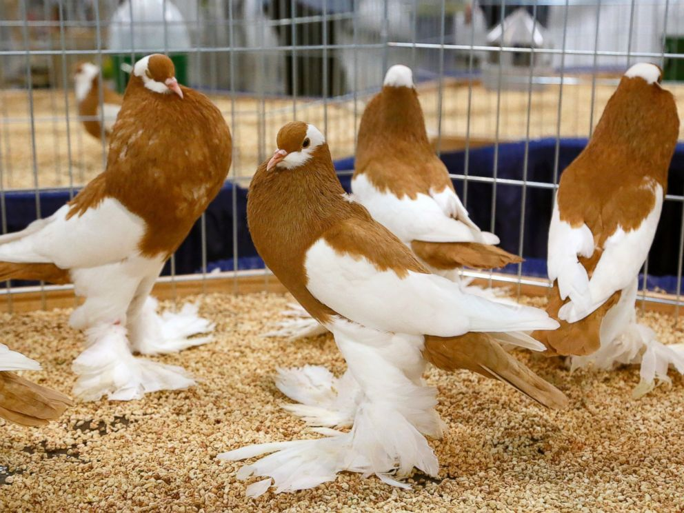 PHOTO: German Reversewing Pouters are displayed at the National Pigeon Association??s 93rd annual Grand National Pigeon Show in Ontario, Calif., Jan. 29, 2015.