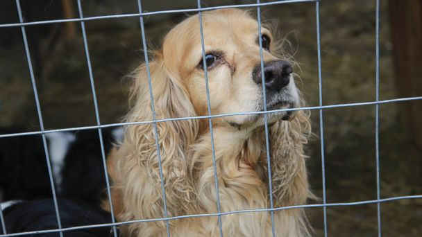 AP puppy mill quebec 04 jtm 140724 16x9 608 Heartwarming Photos Document a Puppy Mill Rescue