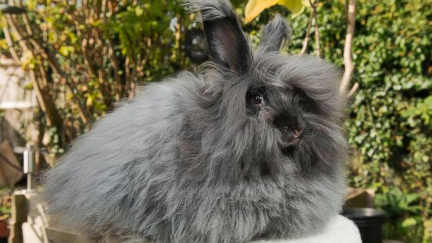 BNPS angora rabbit 2 jtm 141014 16x9 608 Womans Pets Provide Delightfully Warm Presents