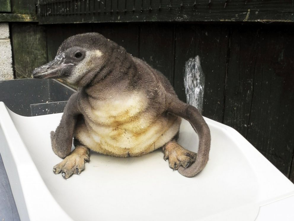 PHOTO:A penguin chick born with splayed legs finally has happy feet after wearing a special pair of trousers that fixed the deformity. Staff at the Sea Life Centre in Scarborough, North Yorkshire realized it had the problem when it was around 3 weeks old.